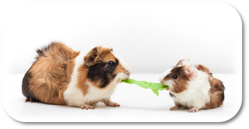Two guinea pigs eating lettuce