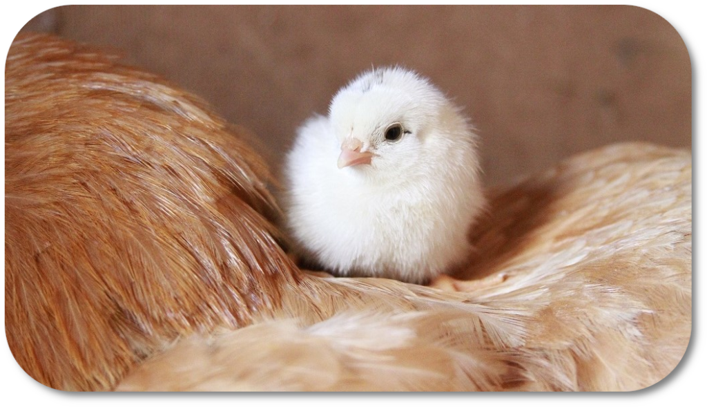 Picture of chicken and chick to link with Avian Vetpol SQP course