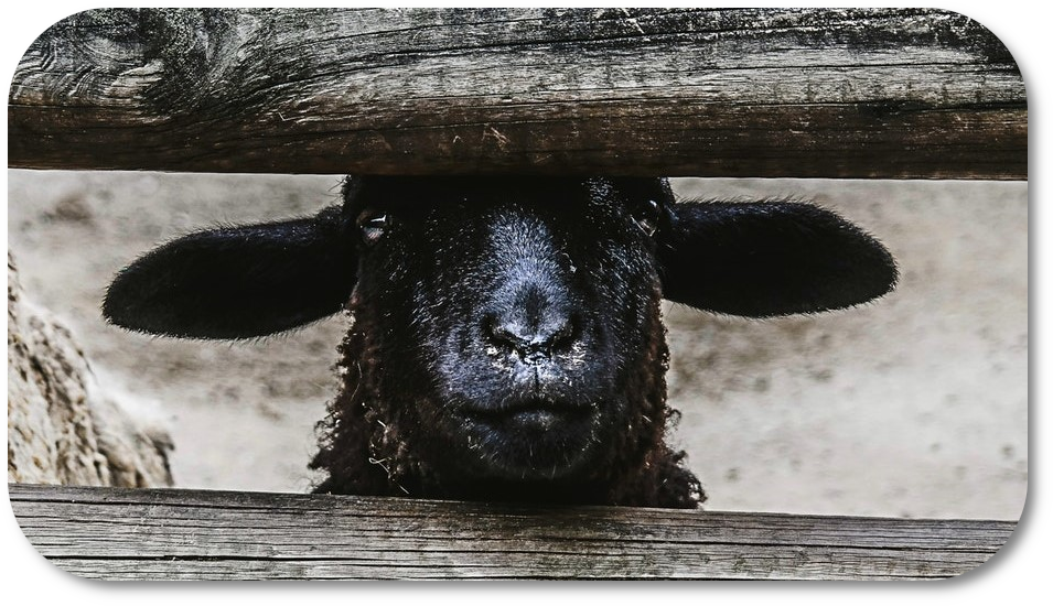 Portrait of black lamb poking its head through a fence